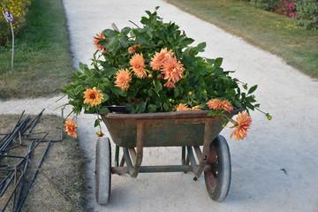 Brouette de dahlias orange au jardin