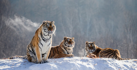Several siberian tigers on a snowy hill against the background of winter trees. China. Harbin. Mudanjiang province. Hengdaohezi park. Siberian Tiger Park. Winter. Hard frost. (Panthera tgris altaica)