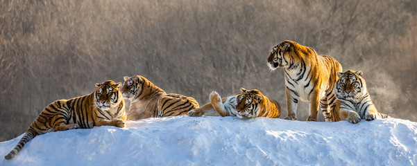 Fotobehang Tijger Several siberian tigers on a snowy hill against the background of winter trees. China. Harbin. Mudanjiang province. Hengdaohezi park. Siberian Tiger Park. Winter. Hard frost. (Panthera tgris altaica)