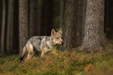 Young Eurasian wolf walk in forest - Canis lupus