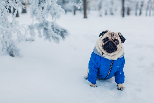 Pug dog walking on snow in park. Puppy wearing winter coat