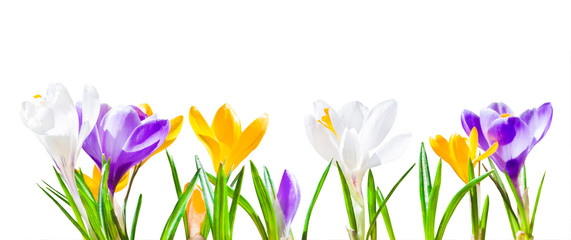 Foto op Plexiglas Krokussen Colorful crocus flowers isolated on white background