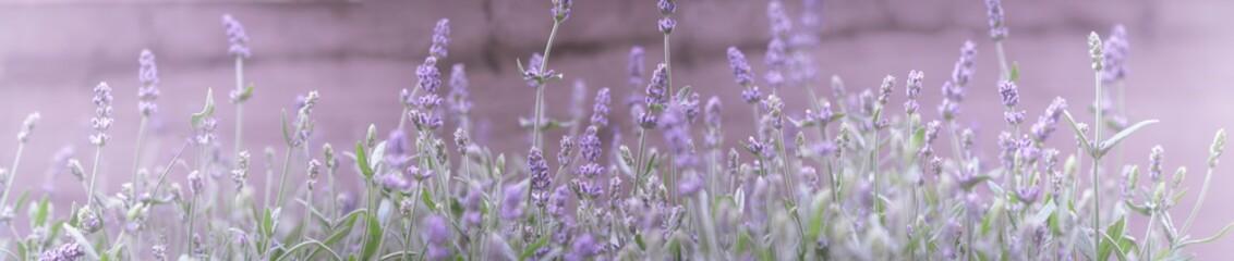 Lavendel Panorama Band