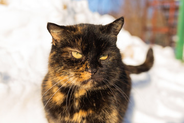 Funny face of cute boring adult cat standing outdoors in snow on winter sunny day. Horizontal color photography.
