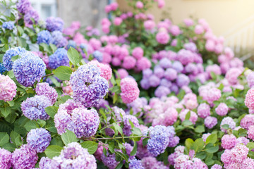 Fotomurales - Hydrangea is pink, blue, lilac, violet, purple bushes. Flowers are blooming in spring and summer in town street garden.
