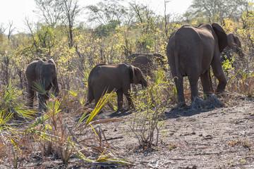 Elefants in the bush of Kruger Park, South Africa
