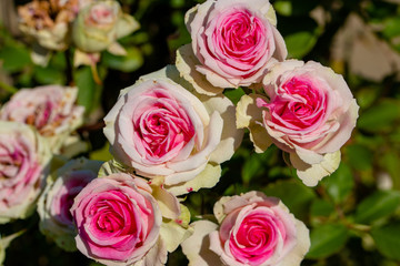 Rose flowers blooming in autumn, Yachiyo city, Chiba prefecture, Japan