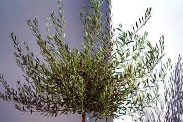 Small olive tree on the streets of Imerovigli, Santorini