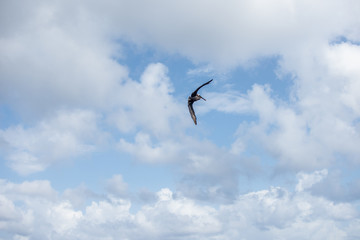 low angle shot of isolated pelican flying and soaring high among the clouds on a sunny day