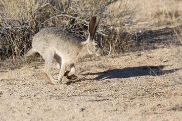 Wild Jack Rabbit Grazing the Fields in Joshua Tree National Park (California)