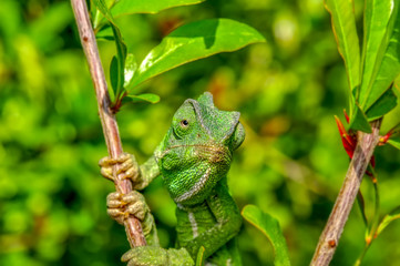 Beautiful  Green chameleon  sitting on flower in a summer garden