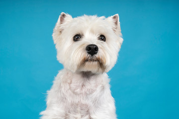 Portrait of a White West Highland Terrier Westie sitting looking at camera isolated on a baby blue background