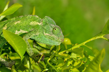 Beautiful  Green chameleon  sitting on flower in a summer garden