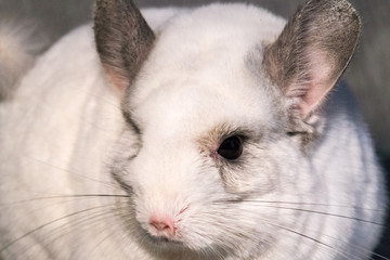 Chinchilla is a cute and pleasant small animal, in appearance very similar to a rabbit.