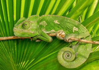 Fotobehang Kameleon Beautiful Green chameleon sitting on flower in a summer garden