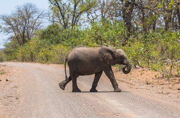 Small Elephant crossing the road in Kruger Park