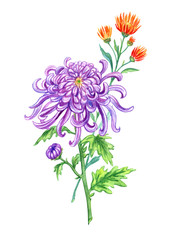 Purple Japanese chrysanthemum and orange needle chrysanthemum, watercolor painting on a white background isolated with clipping path. Bouquet of autumn flowers, hand drawing.