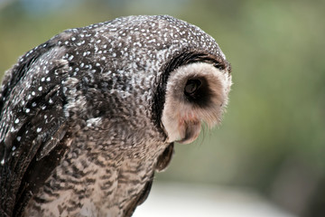 a close up of a masked owl