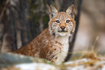 Eurasian lynx sitting in the forest at early winter