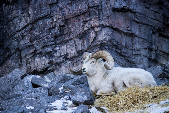 Big horned sheep amidst rocky outcropping with cool light during mid winter