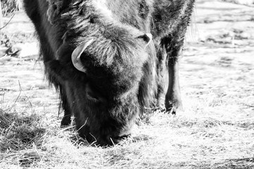 Tuinposter Buffel Lone buffalo standing within a cold winter field with bright sunlight splashing down