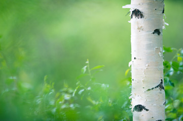 Birch tree (Betula pendula) trunk against green forest background.