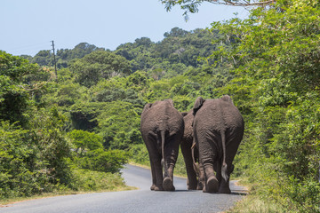 Big elephants walking on street in St. Lucia wetlands park