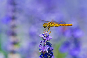 dragonfly on Lavender flower