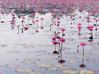 Wall Mural - blooming pink water lilies