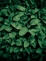 Wall Mural - Green leave background. Natural concept.