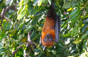 Lyle's flying fox Pteropus lylei Bat Sleeping on the tree
