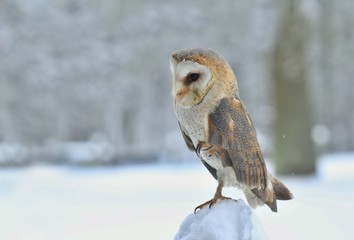 A magnificent Barn Owl (Tyto alba) perched on a wooden post with snow on a winters morning. Western barn owl in the nature habitat.