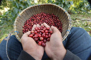 Close up of red berries coffee beans on agriculturist hand Fototapete