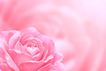 Blurred background with rose of pink color