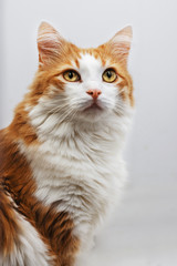 Portrait of a red fluffy cat