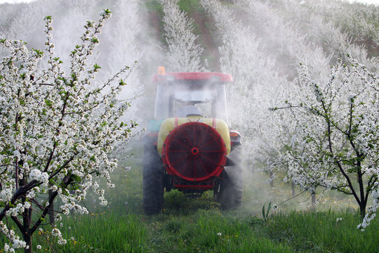 tractor sprays insecticide in cherry orchard agriculture spring season