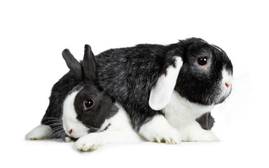 Cute female grey with white European rabbit and brave male black with brave white lop ear friend. Laying down over each other. Isolated on white background.