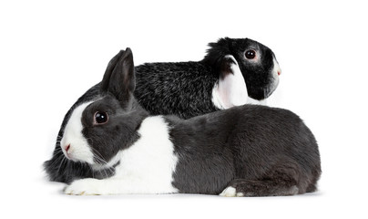 Cute female grey with white European rabbit and brave male black with white lop ear friend. Laying behind each other looking sideways.  Isolated on white background.