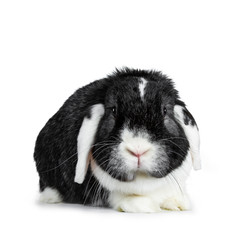 Brave male black with white lop ear rabbit, Looking to the camera, Isolated on white background.