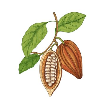 Detailed botanical drawing of whole and cut ripe pods or fruits of cocoa tree with beans, branches and leaves isolated on white background