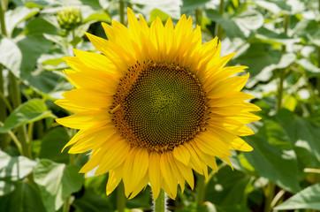 Wall Mural - sunflower in a field