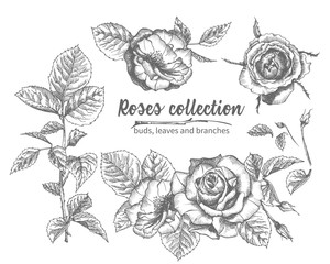 Set of Hand drawn sketch roses, leaves and branches Detailed vintage botanical illuatration. Floral frame. Black silhouette isollated on white background.