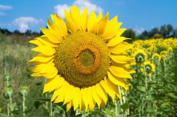 Wall Mural - sunflower in field
