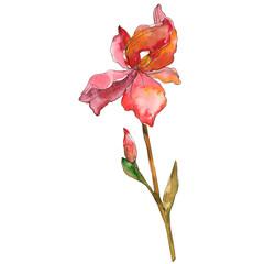 Red iris floral botanical flower. Watercolor background illustration set. Isolated iris illustration element.