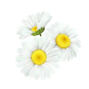 Chamomile daisy flower isolated on white background. Vector illustration