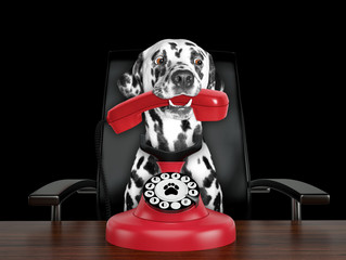 Dalmatian dog is talking by red old dial telephone. Isolated on black