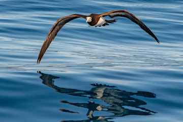 Brown booby Gannet in french polynesia pacific ocean