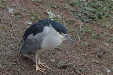 Close Up Black Crown Night Heron