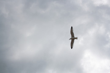 One seagull soaring highly in the blue sky