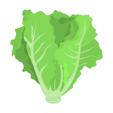 Green lettuce. Fresh healthy ingredient for salad